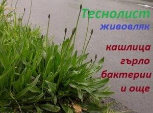 теснолист живовляк, описание, вид, цвят, лист, корен, семе